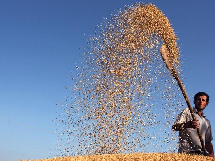 Веяние пшеницы